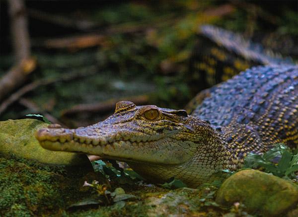 Brunei Wildlife Crocodile